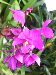 Love Singapore orchids
