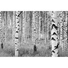 """Komar Birch Forest 145' x 98"""" Wall Mural"""