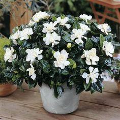 Rose Like Flowers, Large Flowers, Fresh Flowers, White Flowers, Flowering House Plants, Garden Plants, Indoor Garden, Indoor Plants, Flower Delivery Uk
