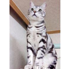 오매불망 날파리. . 덕분에. #칼로리소모 좀 하려나보옹. . . . . . . #아메리칸숏헤어 #아메숏 #고양이 #바비 #냐옹이 #돼냥이 #cat #pigcat #catstagram #catsofinstagram #catsagram #catoftheday #neko #americanshorthair #kitten #instacat #instameow #catsofworld #catsofig #catlover #catstagram by babi_melong http://www.australiaunwrapped.com/