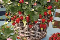 Comment faire pousser de belles fraises