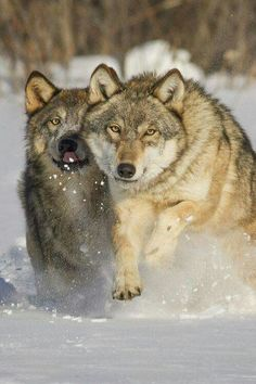 Timber Wolves Running in snow Beautiful Wolves, Animals Beautiful, Running In Snow, Tier Wolf, Malamute, Canis Lupus, Wolf World, Maned Wolf, Wolf Husky