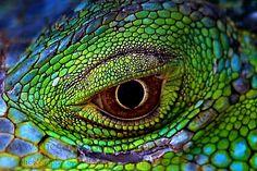 Iguana Eyes - Eyes from a Green Iguana - Iguana Iguana Les Reptiles, Reptiles And Amphibians, Nature Animals, Animals And Pets, Beautiful Eyes, Animals Beautiful, Beautiful Creatures, Reptile Eye, Green Iguana