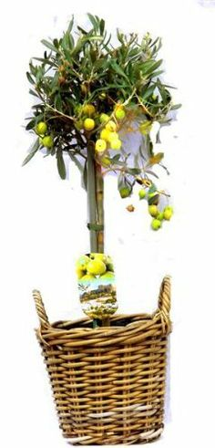 Christmas Gifts for Grandparents, Beautiful 70cm Olive tree, With FREE high quality, stylish Basket. Perfect as a Christmas gifts for Grandparents. by Best4garden.