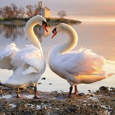 Superb Nature - kohalmitamas: Honest morning by. Swan Love, Beautiful Swan, Beautiful Birds, Animals Beautiful, Nature Animals, Animals And Pets, Cute Animals, All Birds, Love Birds