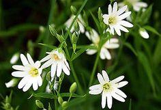 Fladstjerne (Stellaria) er en slægt med mange arter, som er udbredt over det meste af kloden.  Planterne har hvide, 5-tallige blomster, hvor kronbladene ofte er så dybt kløvede, at de ser ud, som om der var 10 af dem.  Stor fladstjerne (Stellaria holostea). Findes i store flokke i egeskoven og i lyse skovkanter.   Udseende: Stor Fladstjerne er en 15-30 cm høj urt, der vokser i skov og krat. Planten blomstrer i maj-juni med 8-20 blomster i standen. Bægerbladene er 6-9 mm, mens de hvide…