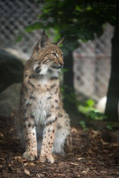 Great Kyrill A picture of the male lynx seen at Zoo Karlsruhe