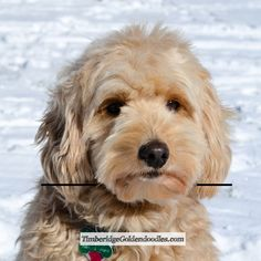 Goldendoodle Haircuts, Goldendoodle Grooming, Dog Haircuts, Puppy Grooming, Mini Goldendoodle, Goldendoodles, Labradoodles, Cavapoo Puppies, Cockapoo