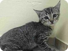 Brooklyn, NY - Domestic Shorthair. Meet RUSTY a Kitten for Adoption at Brooklyn ACC