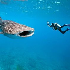 The whale shark is 19,000kg & 41ft of harmless nonmammalian vertebrate (not sure what that means either!) which makes it one of the most impressive #animals to dive alongside. Living up to 70 years and with a mouth span of up to 1.5m, it can look daunting but it feeds on plankton. Loving warm waters, some of the best dive spots include the Seychelles, Mexico, Belize and the Philippines.