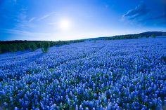 """""""A Field of Eternal Blue"""" - a bluebonnet field in Spicewood, Texas"""