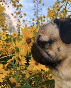 "Acquire great ideas on ""pug dogs"". They are actually available for you on our internet site. Pug Puppies, Cute Dogs And Puppies, Doggies, Pug Wallpaper, Doug The Pug, Frank The Pug, Baby Pugs, Silly Dogs, Cute Little Animals"
