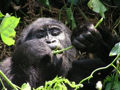 Bwindi Gorilla Impenetrabel Forest