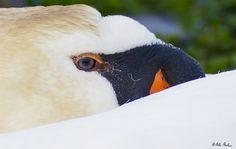 Swan eye by Nicola Di Nola on 500px