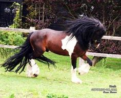 Gypsy Vanner Horse Rescue | Pictures - Gypsy Vanner Horses - West Palm Beach exotic pets ...