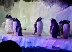 There's nothing like some penguins to make you start feeling Christmassy - they just need some little santa hats!   #penguins #ilovechristmas