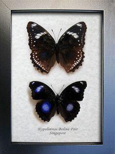 Great Eggfly Blue Moon Pair Real Butterflies Framed In Shadowbox by ButterfliesArtist on Etsy