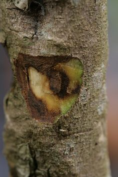 #Agarwood #Essential #Oil: discover how the bark of a tree provides a wonderfully scented oil.