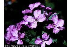 Photo of Lunaria annua L.