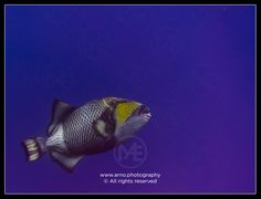 Titan triggerfish  © Arno Enzerink / www.stockphotography.nu. All rights reserved.