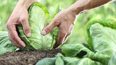 Dream Garden, Hygge, Harvest, Cabbage, Vegetables, Plants, Vegetable Gardening, Zero Waste, Farming