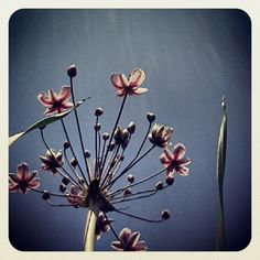 #instawalk #instagram #photo #zaanseschans #flower #zwanebloem