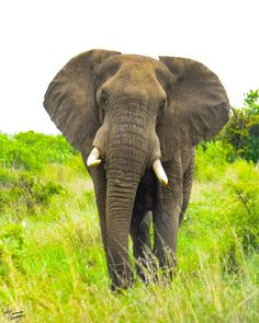 If anyone wants to know what elephants are like they are like people only more so. Kruger National Park, National Parks, Elephants, Grass, Africa, Adventure, People, Animals, Crow