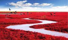 La plage rouge de Panjin, située au nord-est de la Chine. Chaque automne les algues qui s'étendent sur une superficie de 20 km2 deviennent rouge vif. Ce paysage unique n'existe nulle part ailleurs.