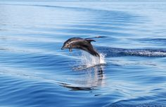A dolphin catching some hang time in Milford Sound, New Zealand New Zealand Wildlife, Milford Sound, Dolphins, Discovery, Cruise, Nature, Animals, Beautiful, Naturaleza