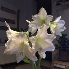 Így lesz csodás virága az amarillisznek | Balkonada Amarillis, Plants, Gardening, Flowers, Lawn And Garden, Plant, Planets, Horticulture