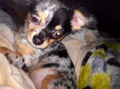 Maya Azul. Longhair blue merle chihuahua puppy