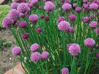 Easy to grow from seed or by splitting existing clumps in spring, this perennial herb produces grassy leaves with a mild onion flavor. Its pretty purple pompom flowers are a decorative bonus, and are also edible.