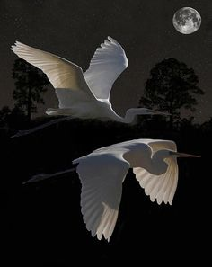 Two Great egrets in flight