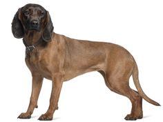 Il dalmata cane dalle antichissime origini il cane da for Cane da pastore della russia meridionale