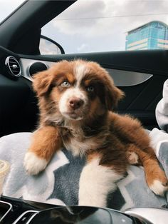 Super Cute Puppies, Cute Baby Dogs, Cute Little Puppies, Cute Dogs And Puppies, Cute Little Animals, Cute Funny Animals, Doggies, Aussie Puppies, Australian Shepherd Puppies