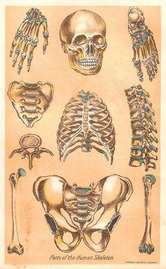 Antique Images: Digital Collage Sheet: Vintage Illustration of Parts of a Human Skeleton from Medical Book