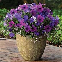 Patio pots - Healing Waters Fuseables is a stiking combination of Shock Wave Denim Petunia,