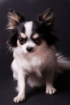 Thanks for watching! All comments and faves are appreciated as always. Chihuahua Puppies, Cute Puppies, Cute Dogs, Dogs And Puppies, Beautiful Dog Breeds, Beautiful Dogs, Animals Beautiful, Beautiful Creatures, Papillon Dog