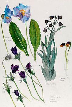 Elizabeth Blackadder  Blue Poppy and Other Flowers  21st century