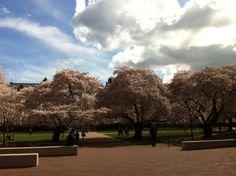 Cherry blossoms at Uw campus