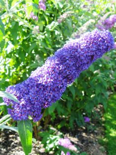 Erfly Bush Or Buddleia Summer Lilac Buddleja Davidii Deciduous To Semi Evergreen