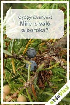 A néphiedelem szerint a boróka elűzi a gonoszt, de nagyon sok betegséget segít távol tartani. A boróka egy nagyon jól kinéző növény, egy tűleveles örökzöld cserje vagy lehet kisebb fa is. Ezen többféle színben pompázó, gömbölyű alakú termések találhatóak. A halványzöld termések már 2-3 év alatt beérnek. Az érett bogyóit már évszázadok óta használják a népi gyógyászatban. Doterra, Green Beans, The Cure, Spices, Herbs, Vegetables, Health, Food, Meal