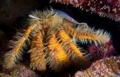 This hermit crab is an Aniculus maximus, also appropriately known as the hairy yellow hermit crab.
