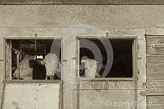 Photo about A vintage sepia style image of cows in an old Swiss barn looking out through an open window. Image of vintage, world, barn - 89733634