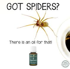 Homemade natural spider repellent You will need: drops peppermint essential oil (consultant link) water 2 oz spray bottle Keep Spiders Away, Get Rid Of Spiders, Keep Bugs Away, Young Living Oils, Young Living Essential Oils, Essential Oil For Spiders, Natural Spider Repellant, Spider Spray, Spider Webs