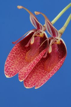 Miniature-orchid / Micro-orquidea: Restrepia sanguinea - Flickr - Photo Sharing!