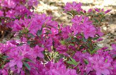 Azalea Varieties for the Flower Garden: Repeat Flowering Azaleas