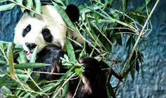 The idea that pandas are reclusive loners may not be as on target as once believed.