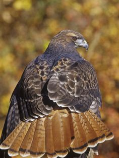 Red+Tailed+Hawk+Feathers | Red-Tailed Hawk, Buteo Jamaicensis, Perched While Hunting and Showing ...