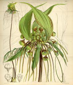 Curtis's botanical magazine.. London ; New York [etc.] :Academic Press [etc.]. biodiversitylibrary.org/page/464759